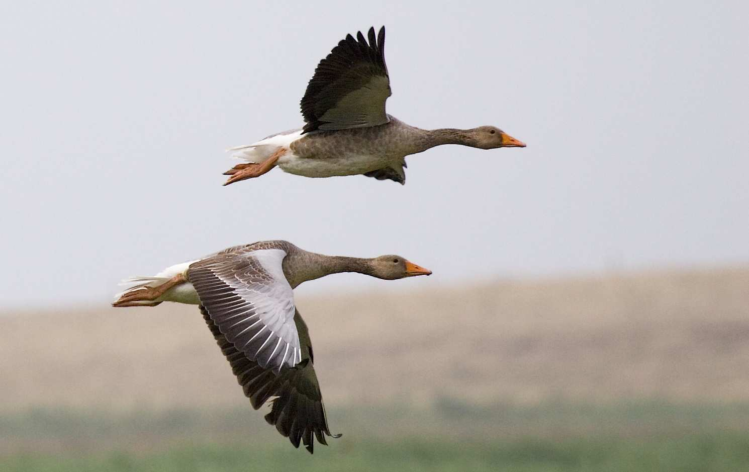 Graylag_geese_(Anser_anser)_in_flight_1700