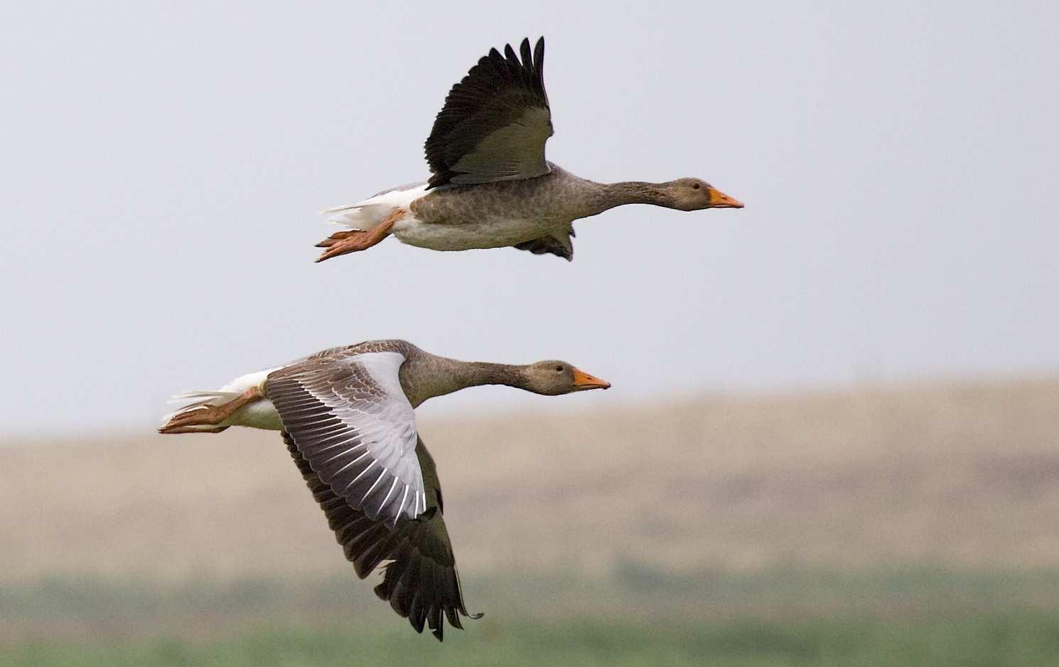 Graylag_geese_(Anser_anser)_in_flight_1700